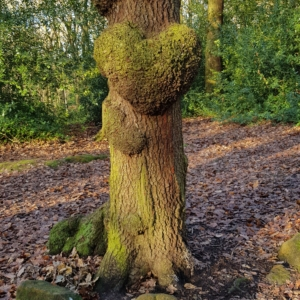 Tree with heart shape in middle of trunk